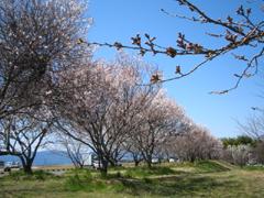kasahara sakura